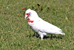 Here is a long-billed corella eating some grass
