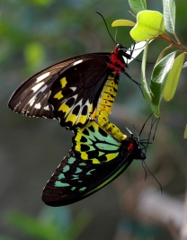 Here are a couple of Queen Alexandra's birdwings