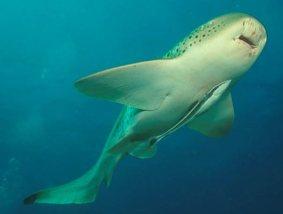 Here is a slender sharksucker attached to a zebra shark