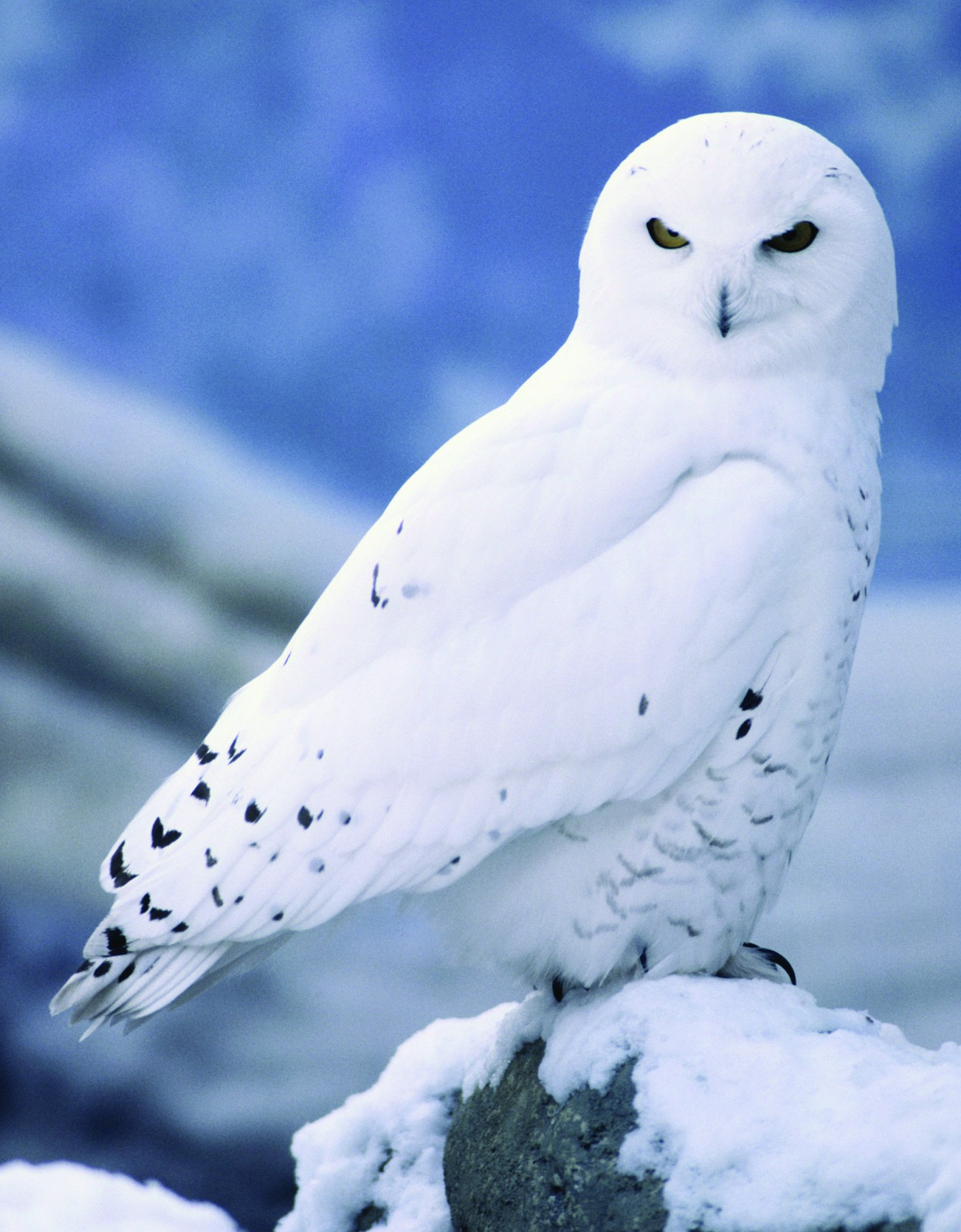 5 Interesting Facts About Snowy Owls | Hayden's Animal Facts - photo#1