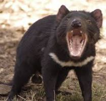 Here is a Tasmanian devil showing off his sharp teeth and powerful jaws