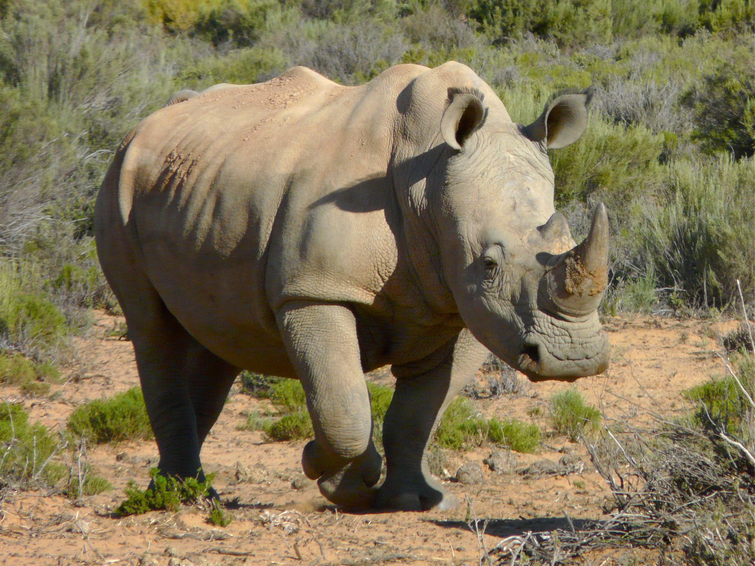 5 interesting facts about white rhinoceroses hayden u0027s animal facts