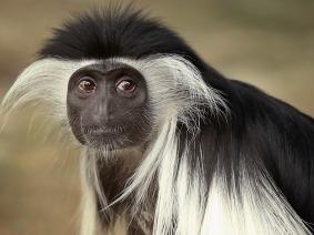 Angola colobus monkey