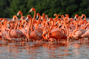 Here is a flock of greater flamingos