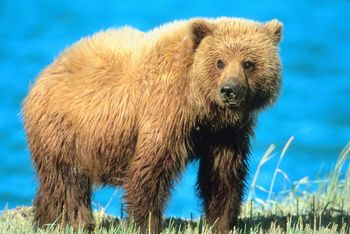 5 Interesting Facts About Grizzly Bears | Hayden's Animal ... - photo#7