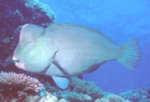Here is a humphead parrotfish looking for some coral to eat