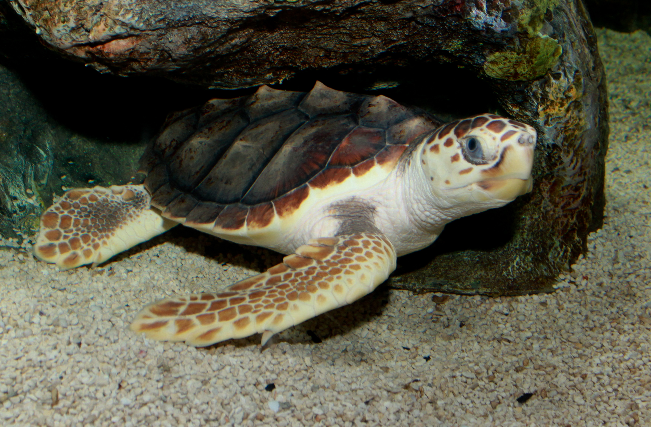 5 interesting facts about loggerhead sea turtles | hayden's animal facts