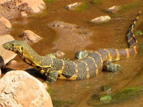 Here is a Nile monitor looking for his prey