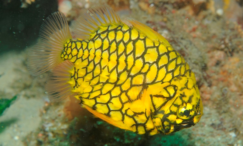 5 interesting facts about pineapplefish hayden 39 s animal for Interesting facts about fish