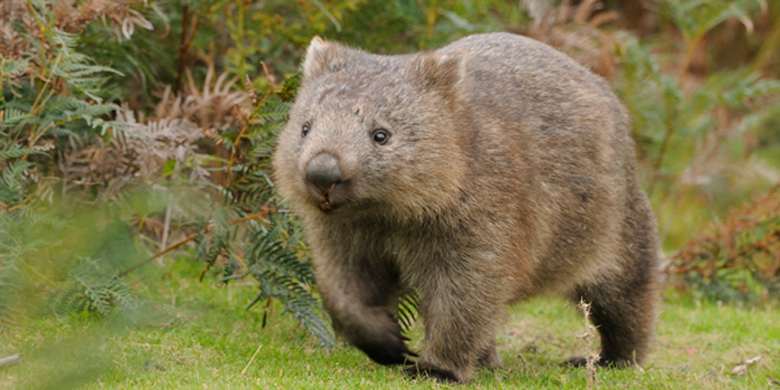 5 Interesting Facts About Common Wombats | Hayden's Animal ...