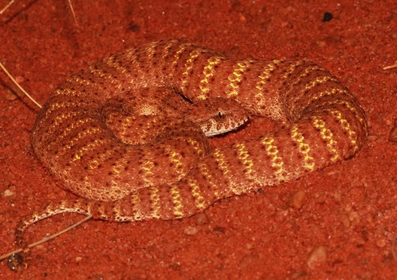 death adder Other articles where death adder is discussed: adder: although death adders (acanthophis) are related to the slender-bodied cobras, they are.