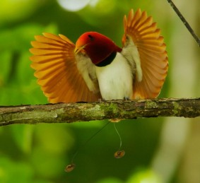 5 Interesting Facts About King Birds-of-Paradise | Hayden's