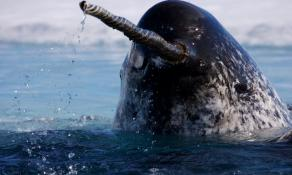 Here is a narwhal showing off his really cool tusk