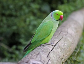 Here is a lovely looking male rose-ringed parakeet
