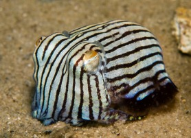 Here is a cute little striped pyjama squid