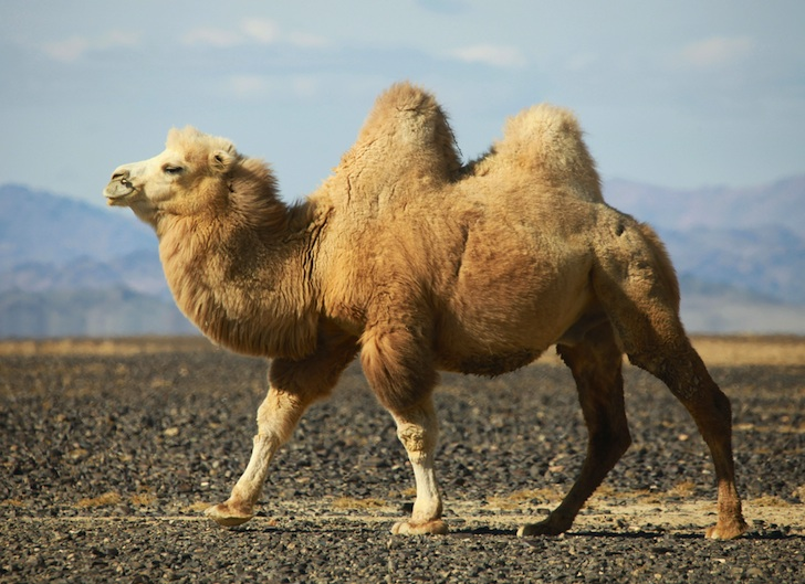 5 Interesting Facts About Bactrian Camels   Hayden's Animal Facts