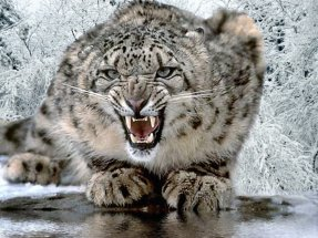 This is a snow leopard showing off its sharp teeth