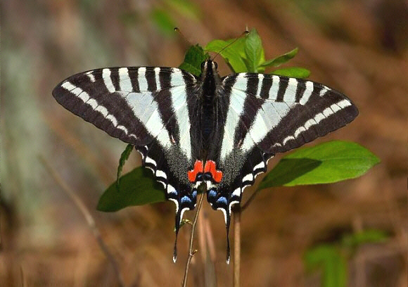 5 interesting facts about zebra swallowtails hayden 39 s for Interesting facts north america