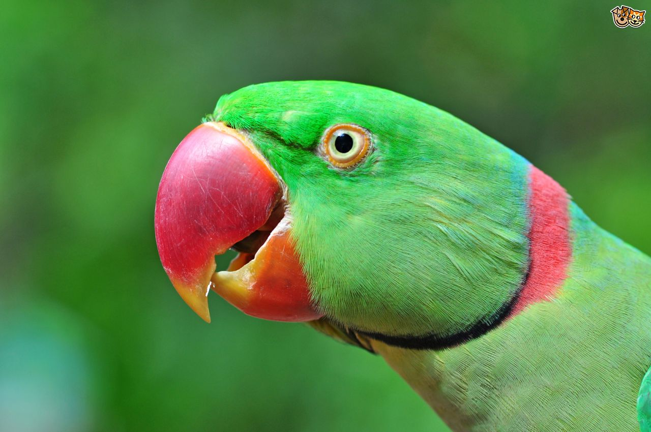 Alexandrine parrot for sale in bangalore dating 3