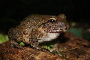 Bob's Robber Frog
