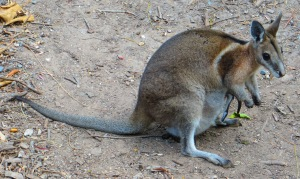 Bridled Nail-Tail Wallaby