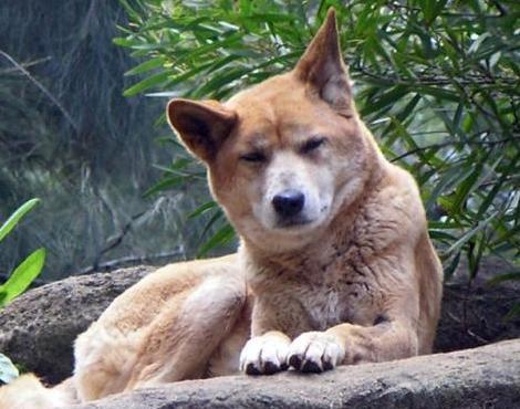 Dingo asian
