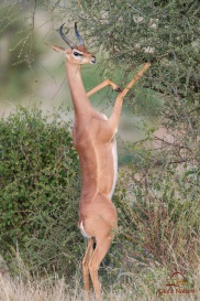 Here is a male gerenuk reaching up to eat juicy leaves