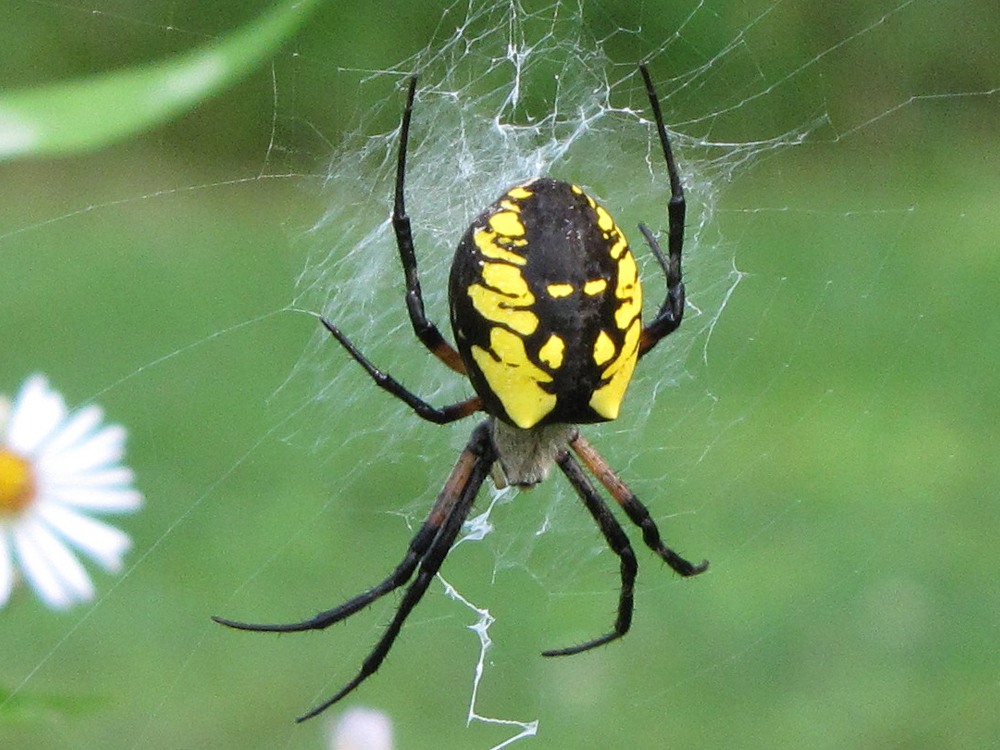 Amazing Black And Yellow Garden Spider