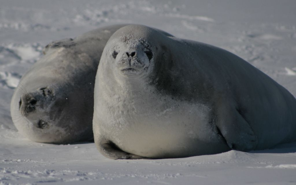 5 Interesting Facts About Crabeater Seals | Hayden's ...