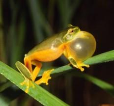 Danty Green Tree Frog 2.24