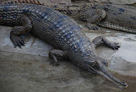 Crocodile Song Kids