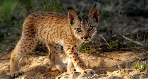 Here is a cute little Iberian lynx kitten learning to hunt