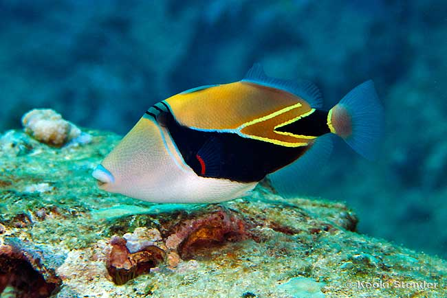 5 interesting facts about reef triggerfish hayden 39 s for Hawaiian state fish