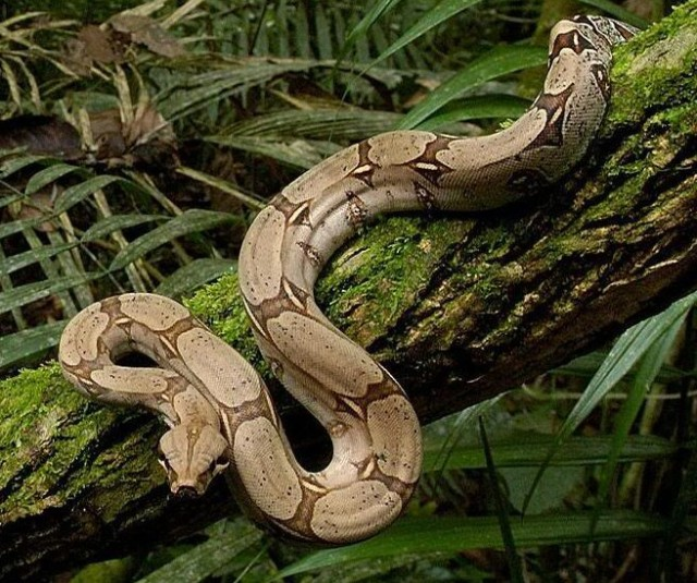 5 Interesting Facts About Boa Constrictors Hayden S Animal Facts