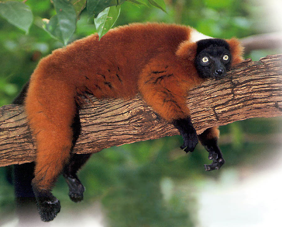 Interesting Facts About Red Ruffed Lemurs Haydens Animal Facts - 8 cool facts about madagascar