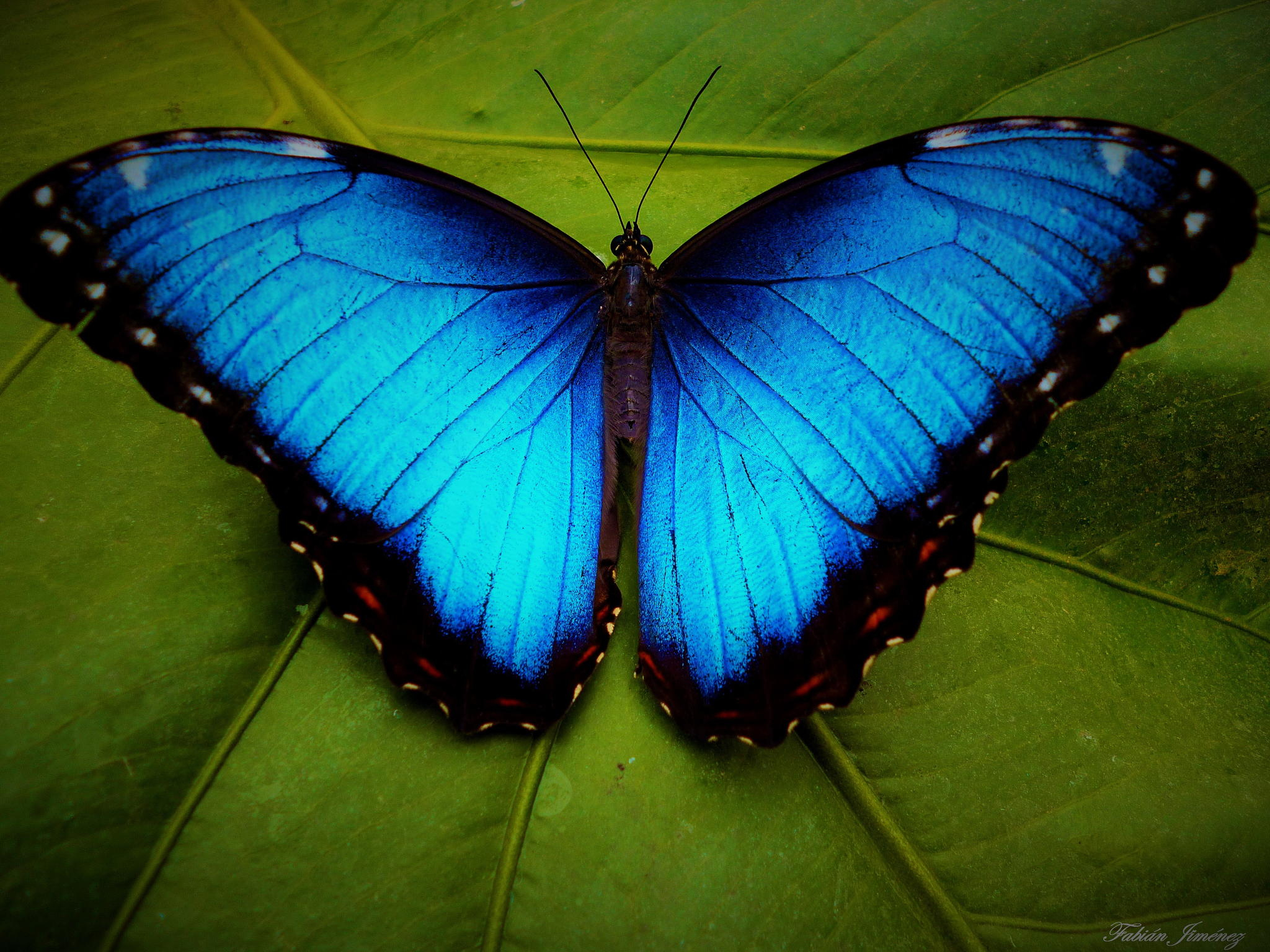 Image result for blue morpho butterfly