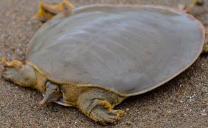 Frog-faced Softshell Turtle