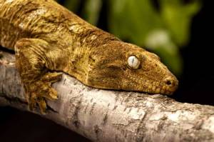 New Caledonia Giant Gecko