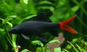 Redtailed black shark