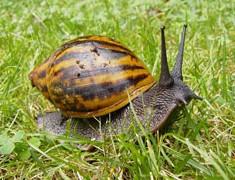 Giant Ghana Snail