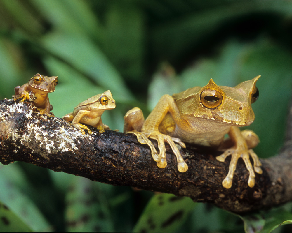 5 interesting facts about horned marsupial frogs hayden u0027s animal