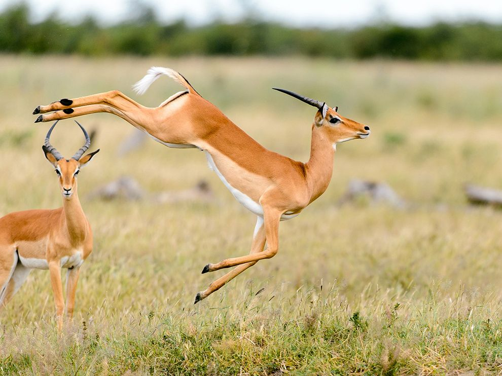 5 Interesting Facts About Impala | Hayden's Animal Facts
