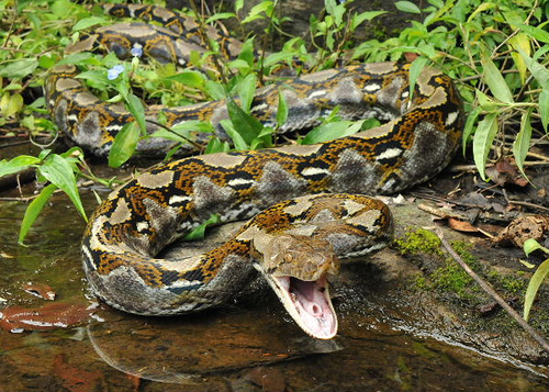 Image result for reticulated python