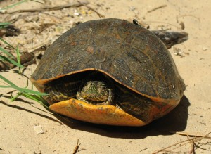 Alabama Red-Bellied Turtle