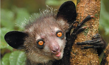 Interesting Facts About AyeAyes Haydens Animal Facts - 8 cool facts about madagascar