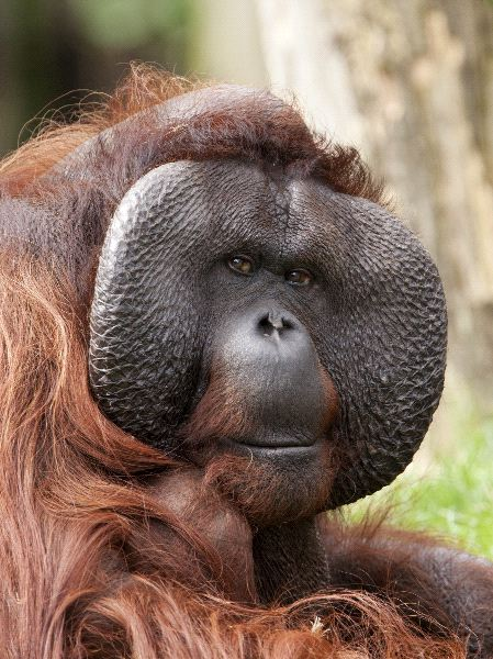 5 Interesting Facts About Bornean Orangutans | Hayden's Animal Facts