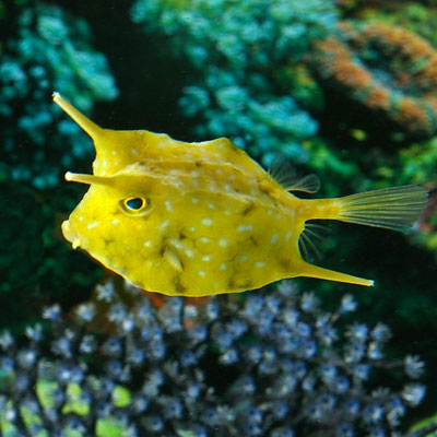 5 Interesting Facts About Longhorn Cowfish | Hayden's ...