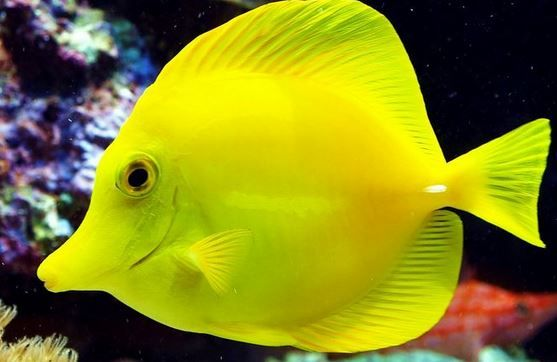 5 Interesting Facts About Yellow Tangs | Hayden's Animal Facts