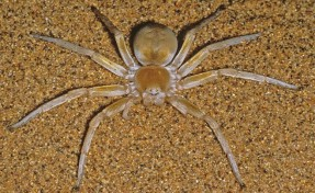 Golden Wheel Spider