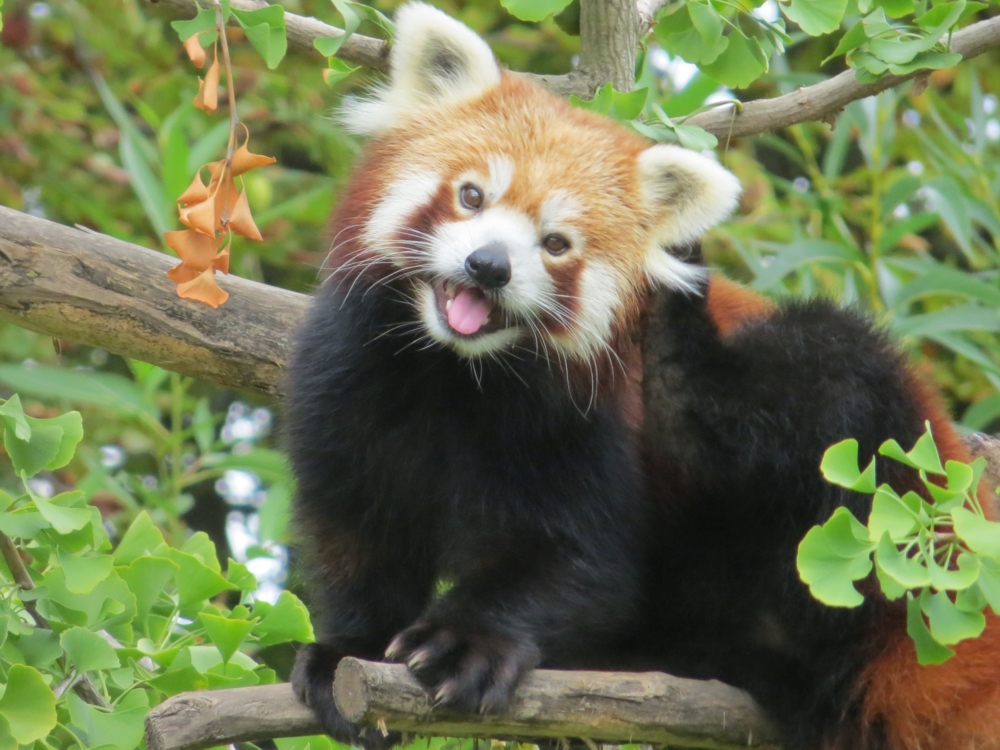 5 Interesting Facts About Red Pandas | Hayden's Animal Facts